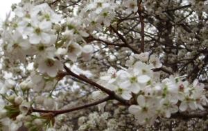 dogwood blooms2
